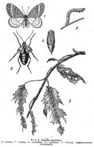 Зимняя пяденица (Operophtera brumata L.)