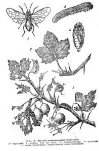 Желтый крыжовниковый пилильщик (Pteronidea ribesie seop)
