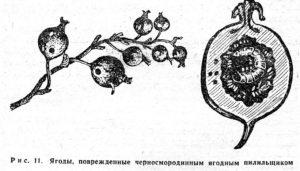 Черносмородинный плодовый пилильщик (Pachynema- tus pumilio knv.)