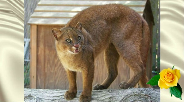 Ягуарунди — кошка, что умеет чирикать