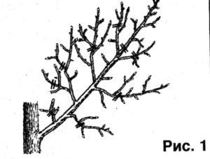 Техника омоложения растений